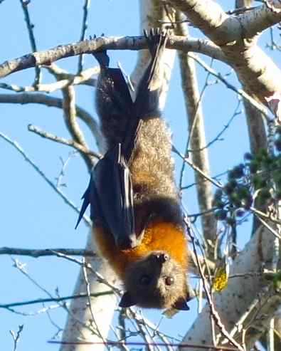 Wolli Creek - Grey-headed flying fox colony
