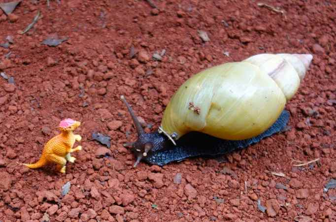 "This field snail carries her ""mobile house"" on her back."