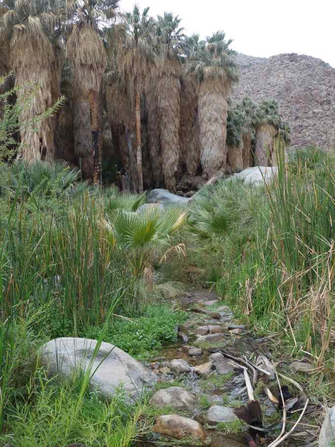 This oasis is in the Anza-Borrego Desert State Park in California.