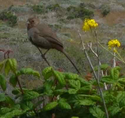 This California towhee let me get a good look, but flew away before I could greet her (or was it a him?).