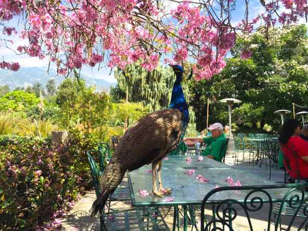 Proud Peacock stood his ground (or his glass table top, in this case) when we tried to take this cafe spot.