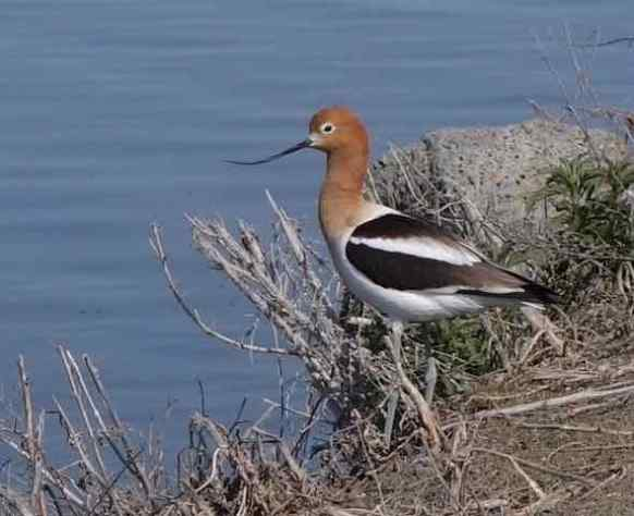 Could the American avocet be a distant relative of mine?