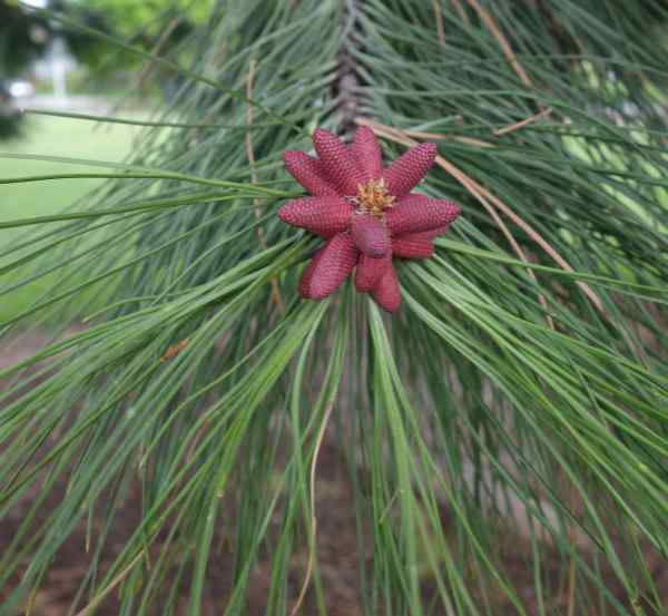 My first pine blossom sighting and it's a pretty one.