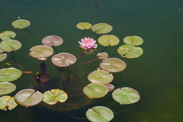 Lily pads resting on calm water convey a restful feeling to me.  Why is that?