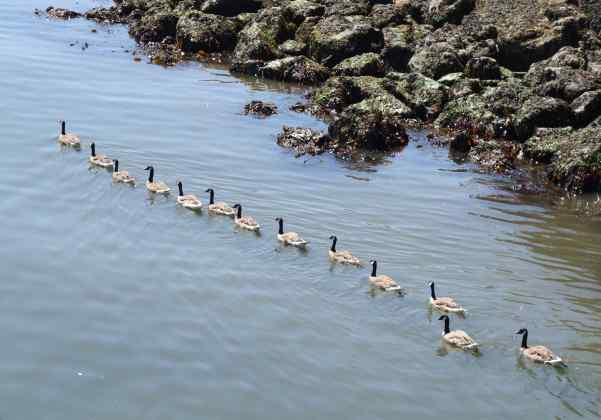 "Now I know where that saying came from, ""Do you have your ducks in a row?""  Except, these are geese, not ducks."