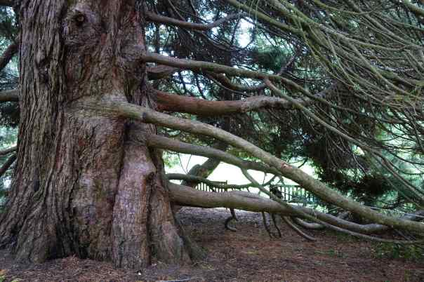 Now here's a big tree with many branches, or should I say limbs? Which is it?