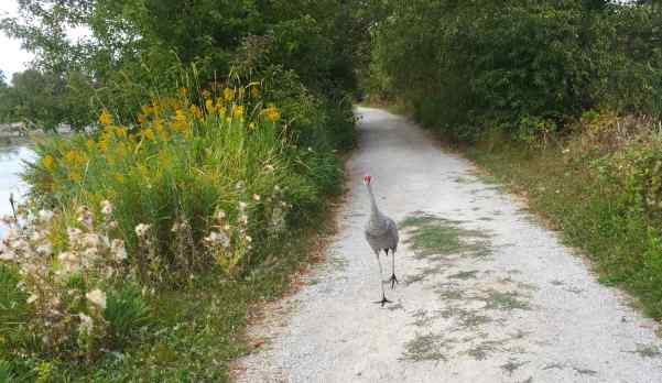 I love that red on the head of sandhill cranes!