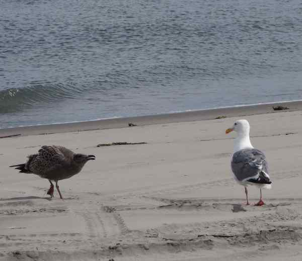 The momma gull is the gray and white one, and the juvenile gull is the black one.