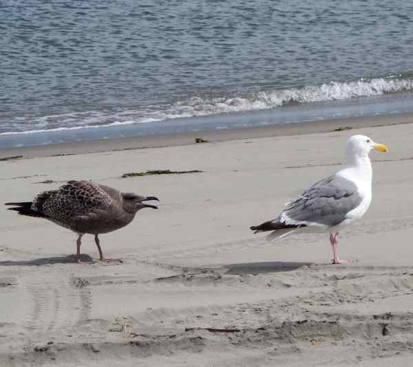 "Papa said, ""I think momma gull is trying to make the juvenile gull become independent,"" and I said, ""Yes, and the young gull sure doesn't like that."""