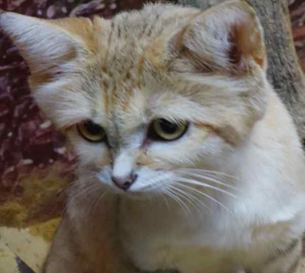 Sand cat.  That's what this cutie is.