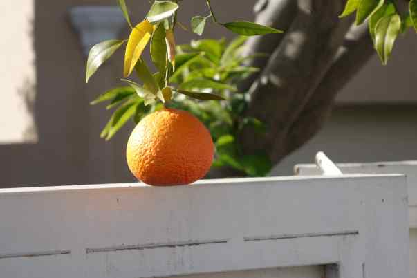 We can just walk into our backyard and pick an orange or a grapefruit for breakfast or for a snack.