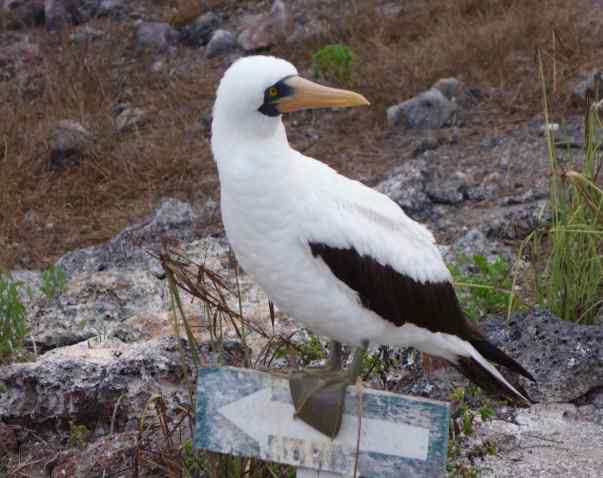 I wonder if this Booby waits for tourists on this sign all the time.  She sure seemed to expect us.