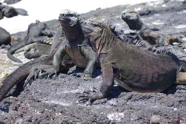 "I overcame my aversion to marine iguanas when I met one, and it said, ""Mucho gusto, senorita."""