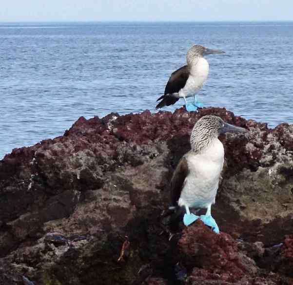 These really are Blue-footed Boobies.  No kidding!