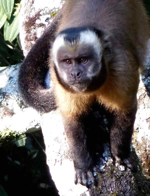 We saw this Large-headed Capuchin Monkey at the Cock of the Rock Lodge on our way to the park. He wanted me to give him a banana. Our cousin Tom gave him one. Then he just wanted another.