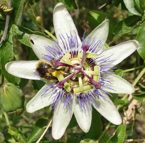"Uncle Josh saw our photo of this flower and told us the name, ""passion flower.""  I enjoy its design, and so does that bee."