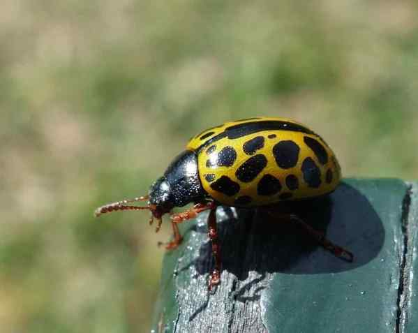 This bug reminded me of a ladybug, but it's the wrong color and just a bit too big.  The color reminds me of lemonade. If you know what this bug is, please don't tell me to look it up. Just send me the name, ok?